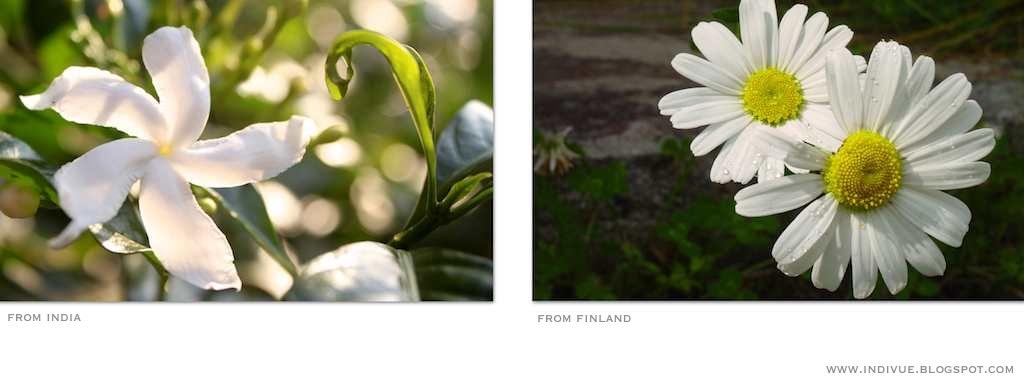 Suomalaisia ja intialaisia valkoisia kukkia