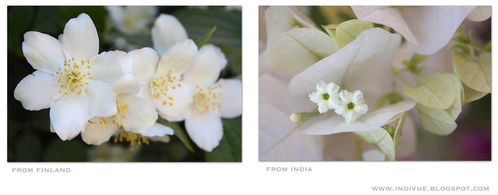 Suomalaisia ja intialaisia pensaskukkia