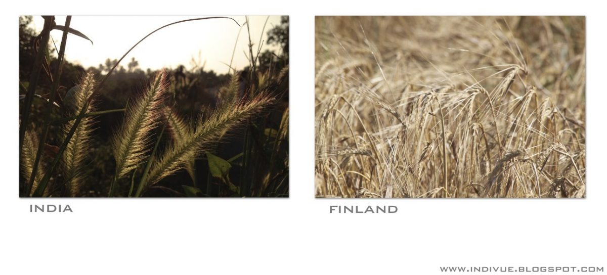 Suomalaista ja intialaista viljaa