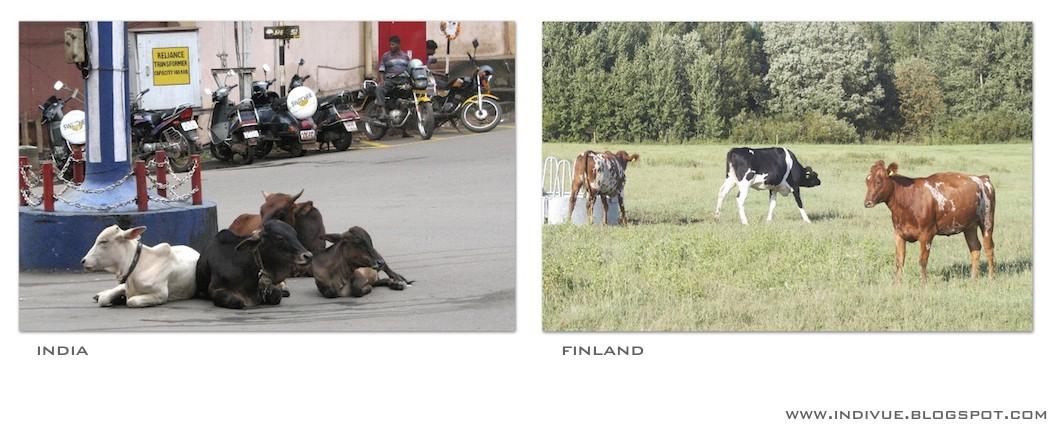 Lehmät, Suomi ja Intia