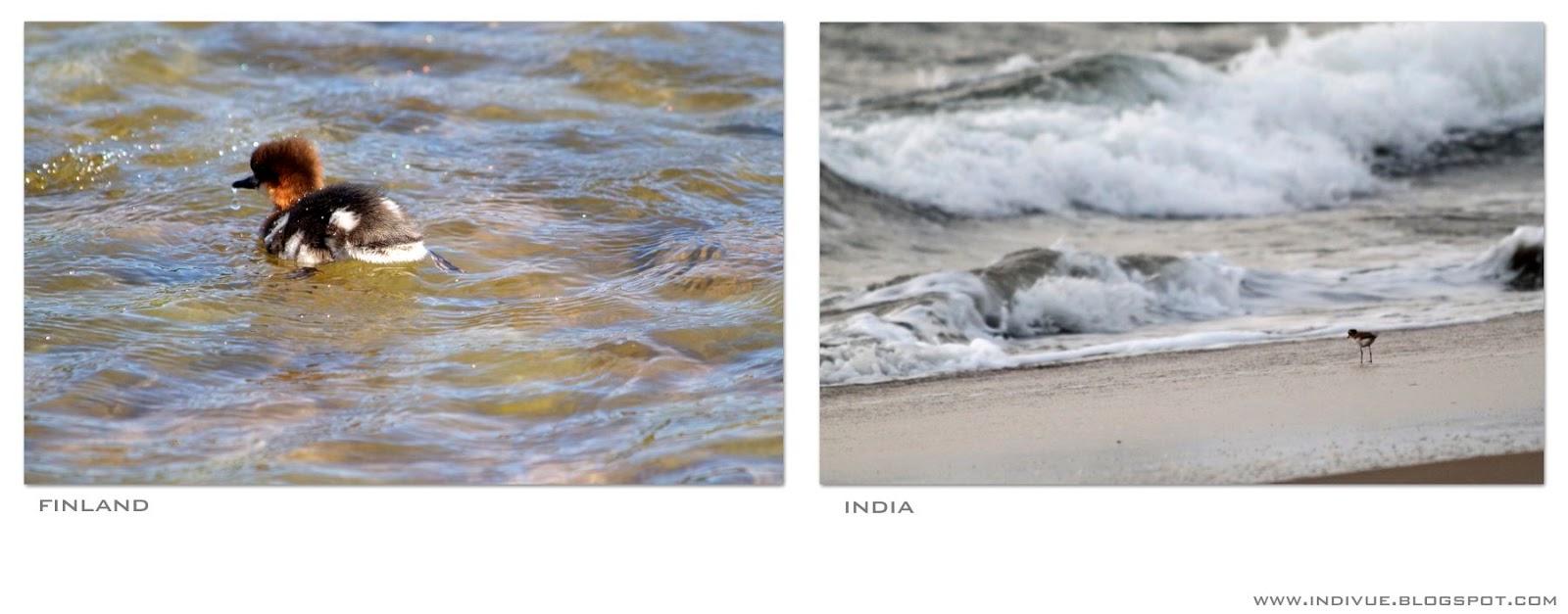 Suomalainen linnunpoikanen ja intialainen linnunpoikanen