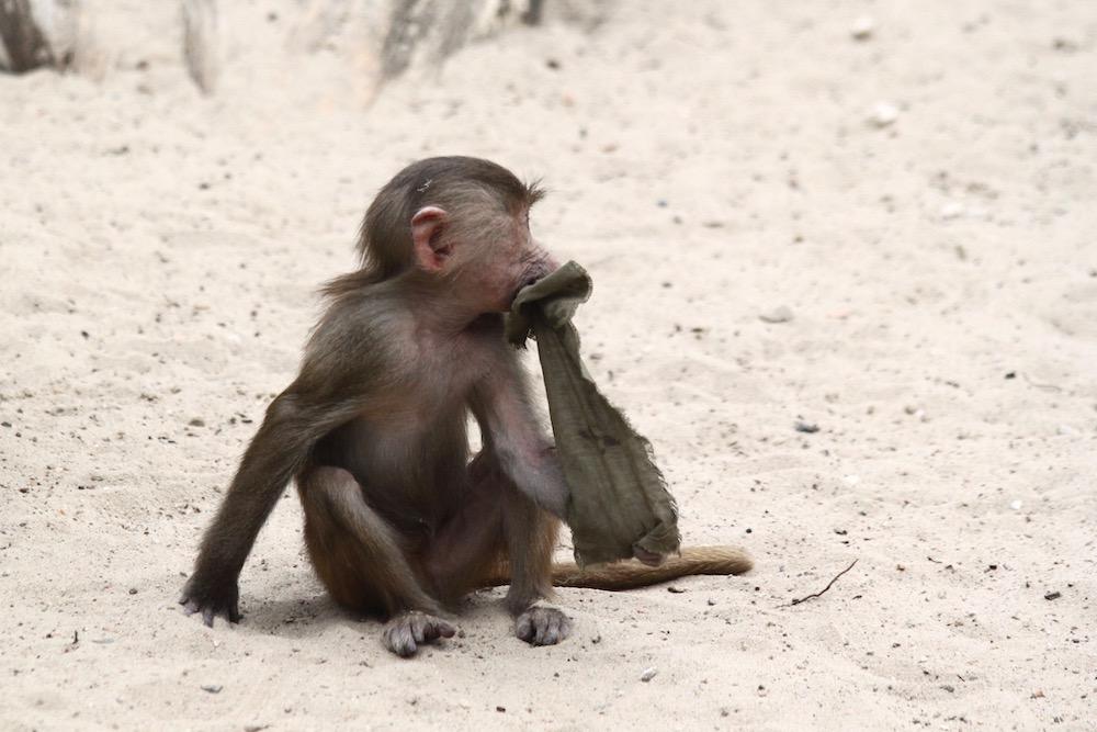Apinanpoikanen Berliinin eläintarhassa