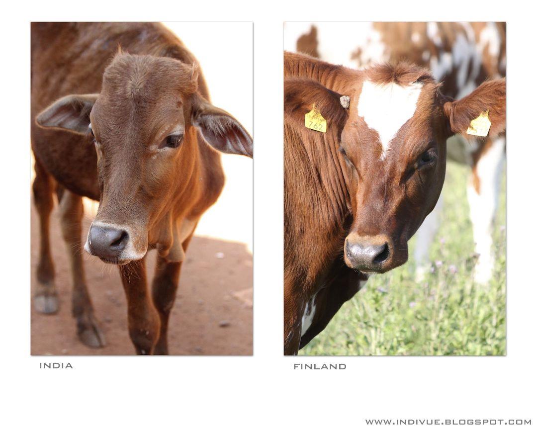 Lehmä Intiassa ja lehmä Suomessa
