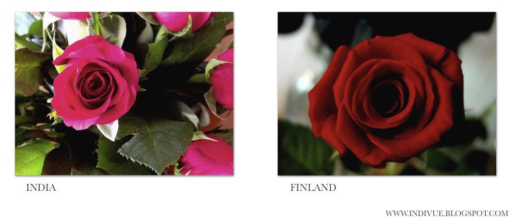 Ruusuja Intiassa ja Suomessa