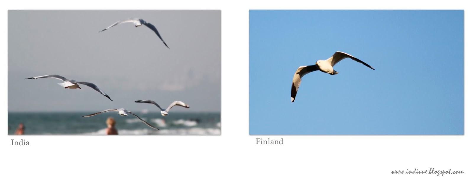 Lentävä intialainen ja suomalainen lokki