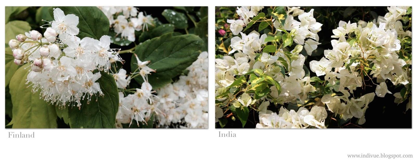 Valkoisia suomalaisia ja intialaisia kukkia