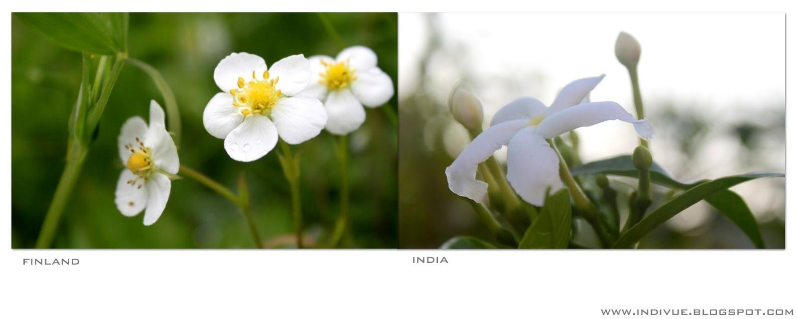 Valkoisia kukintoja Intiassa ja Suomessa