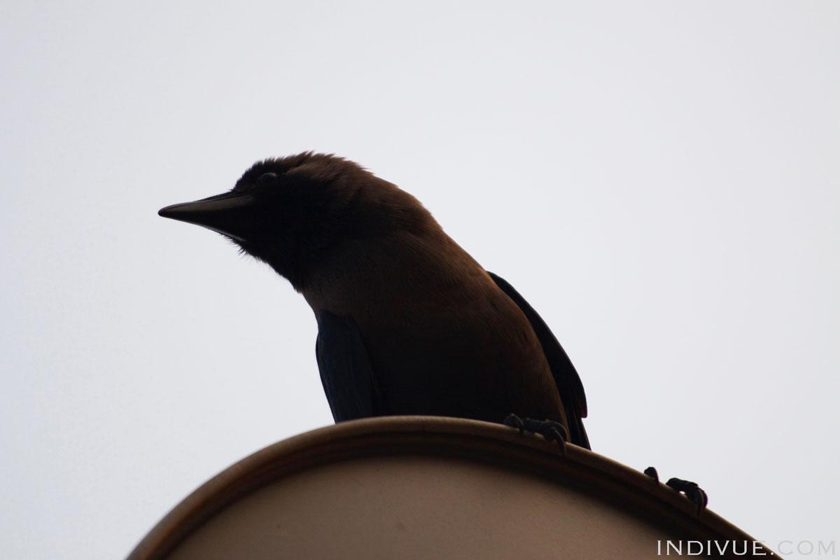 Valokuva intialaisesta linnusta: varis