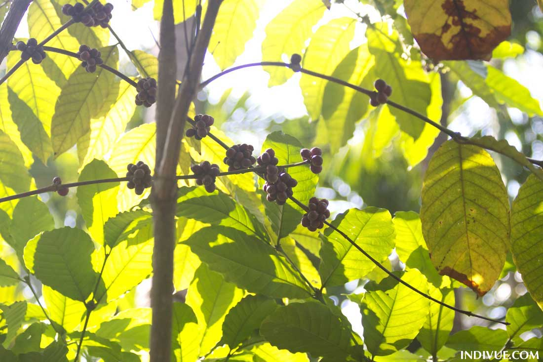 Pippurit kasvamassa maustefarmilla