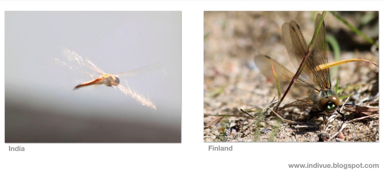 Suomalainen sudenkorento ja intialainen sudenkorento