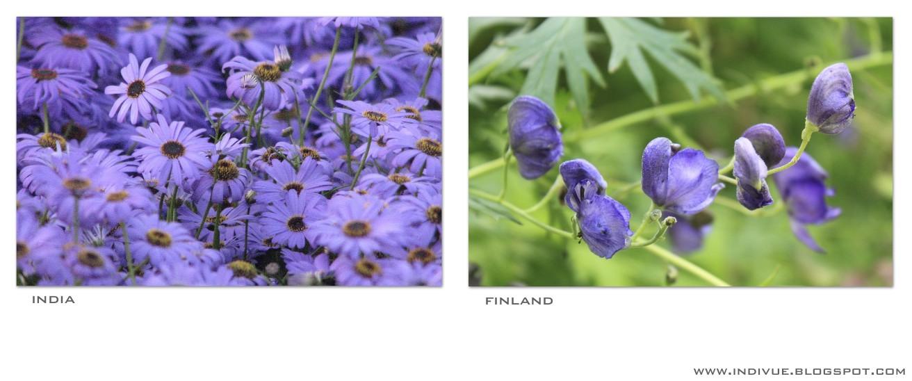 Luonnonvioletti väri Suomessa ja Intiassa