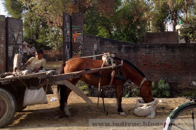 Intialainen hevonen
