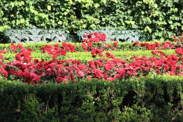 Kukkivia punaisia ruusuja tukholmalaisessa puistossa