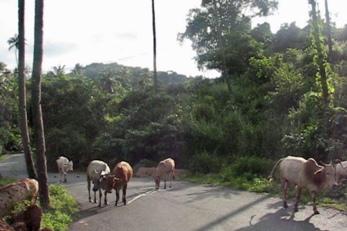 Lehmiä autotiellä Etelä-Goassa, Intiassa