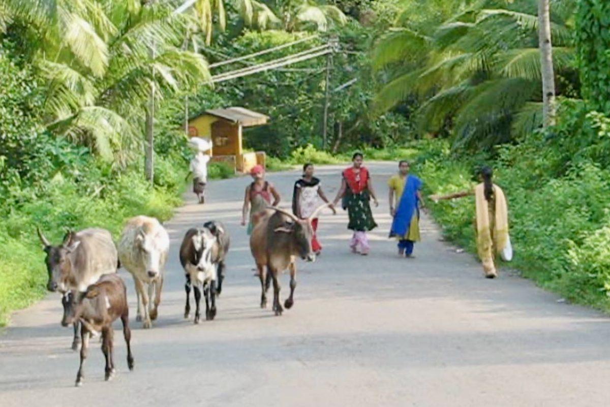 Paikallisia Etelä-Goalaisia asukkaita ja lehmiä