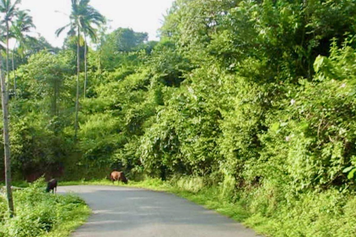 Lehmiä tien varressa Etelä-Goassa, Intiassa