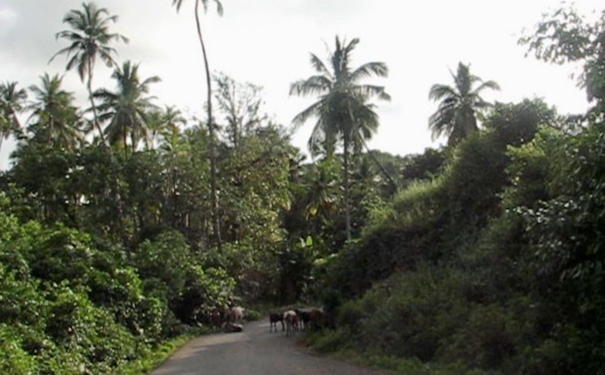 Lehmiä tiellä Goassa