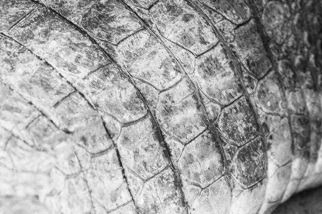 Elävän intialaisen krokotiilin nahka