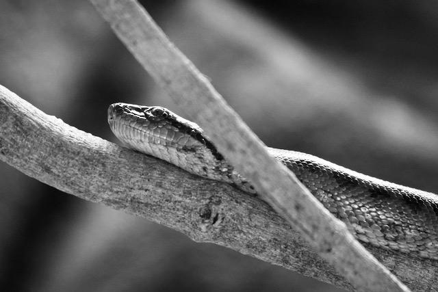 Käärme krokotiilipuistossa Intiassa