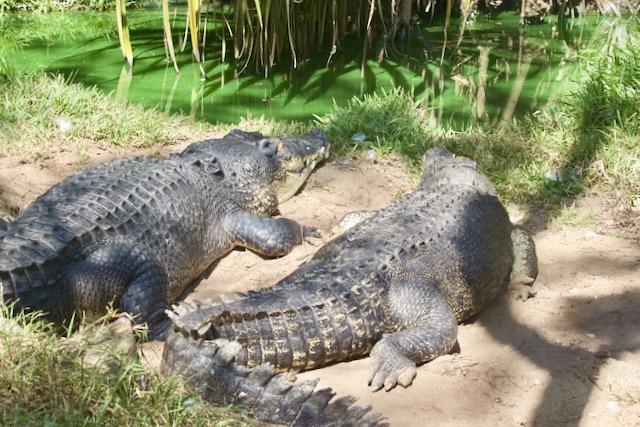 Kaksi intialaista krokotiilia