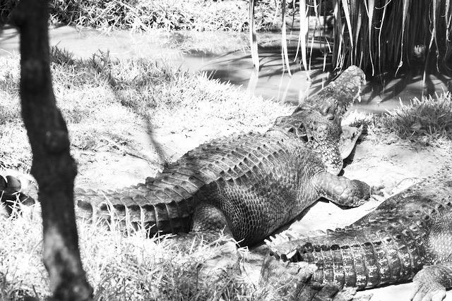 Karjuva krokotiili