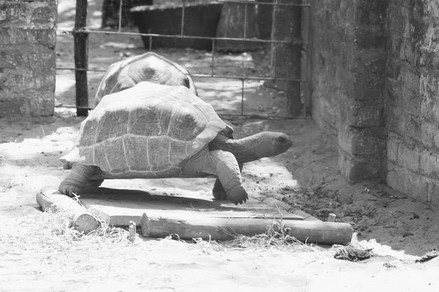 Kilpikonna krokotiilipuistossa Intiassa