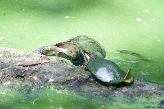 Kilpikonnat intialaisessa eläinpuistossa