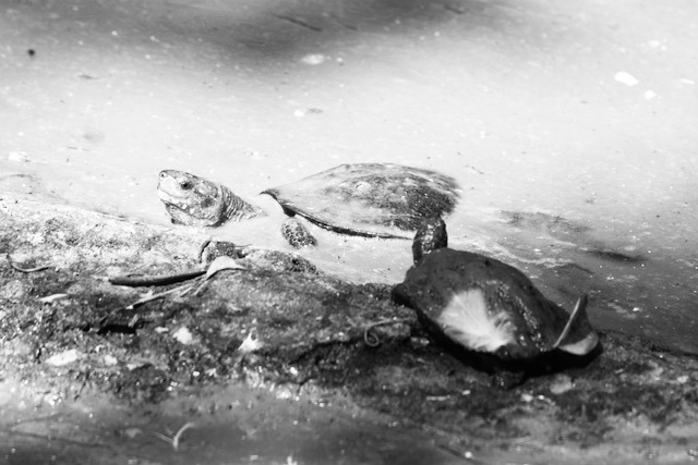 Kilpikonnia krokotiilipuistossa Tamil Nadussa