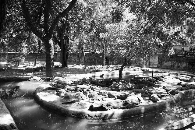 Krokotiileja puistossa Itä-Intiassa