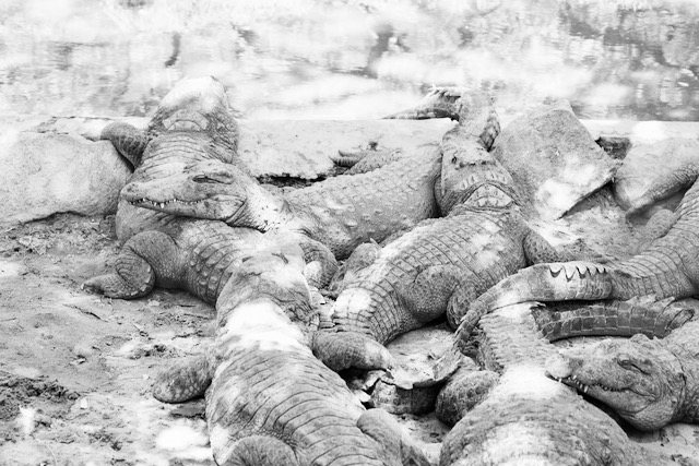 Ryhmäkuva intialaisista krokotiileista