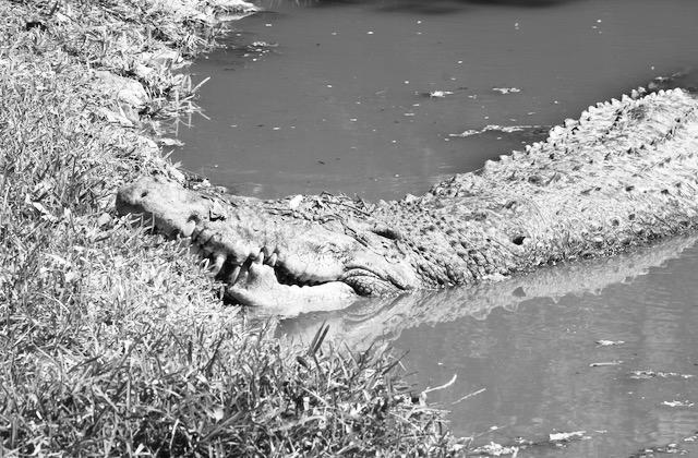 Krokotiili vedessä