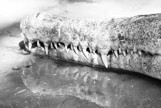 Krokotiilin hampaat