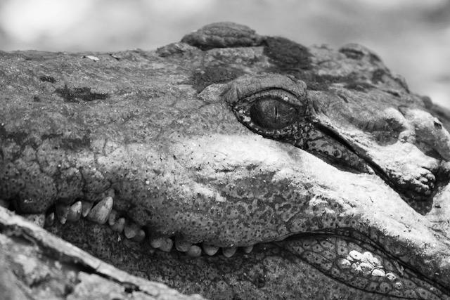 Krokotiilin silmä