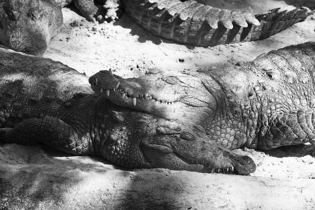 Iloiset krokotiilit