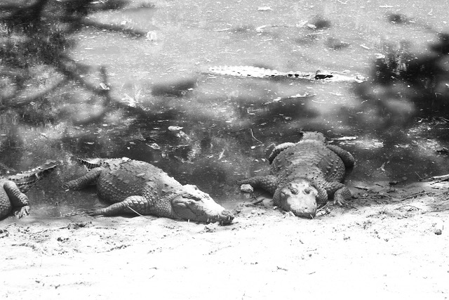 Krokotiilipuisto Itä-Intiassa