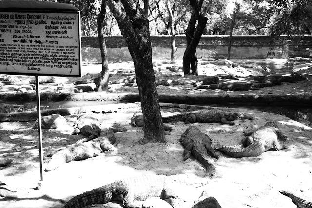 Krokotiilipuiston asukkeja Itä-Intiassa