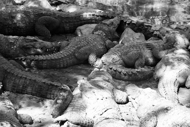 Krokotiiliryhmä