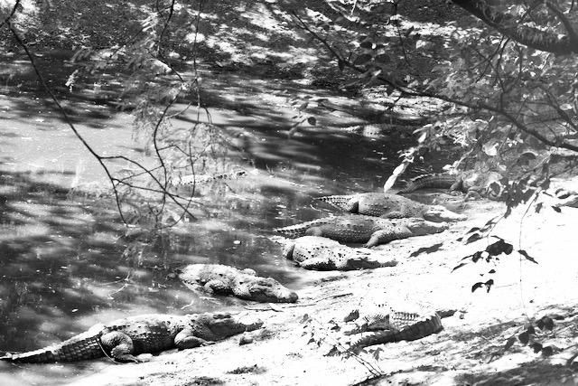 Krokotiilit puistossa Intiassa