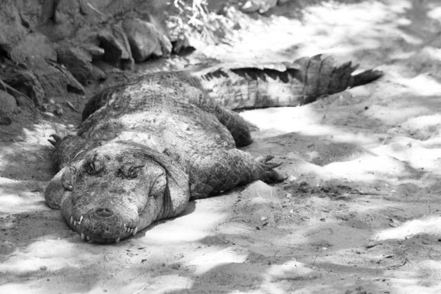 Intialainen krokotiili lepäämässä