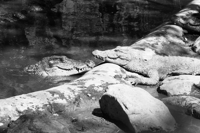 Tyytyväiset krokotiilit