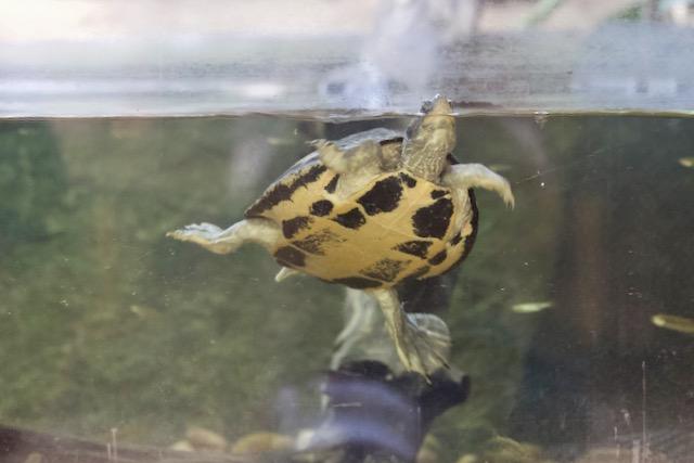 Uiva intialainen kilpikonna